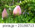 蓮の花 23198713