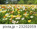 国営武蔵丘陵森林公園のポピー畑 23202059