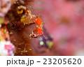 ピグミーシーホース シーホース 竜の落とし子の写真 23205620