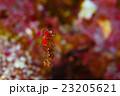 ピグミーシーホース シーホース 竜の落とし子の写真 23205621