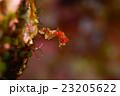 ピグミーシーホース シーホース 竜の落とし子の写真 23205622