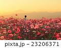 夕陽に染まるコスモス畑と人ひとり 23206371