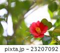 ツバキ 赤い花 23207092