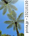 シダ シダの木 樹木の写真 23210130