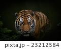 トラ 23212584