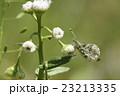 ツマキチョウの雌 23213335
