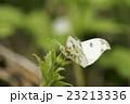 ツマキチョウの雌 23213336