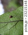 葉 昆虫 虫の写真 23215148