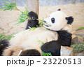 パンダ 23220513