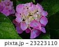雨上がりの紫陽花 23223110