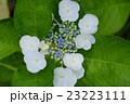 白と青の紫陽花 23223111