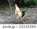 鶏 鳥 動物の写真 23224364