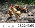 鶏 鳥 動物の写真 23224365
