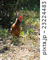 鶏 鳥 動物の写真 23224483