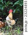 鶏 鳥 動物の写真 23224893