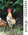 鶏 鳥 動物の写真 23224894
