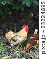 鶏 鳥 動物の写真 23224895