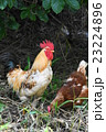 鶏 鳥 動物の写真 23224896