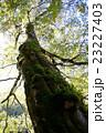 大木 ブナ 苔の写真 23227403