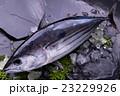 鰹 生鰹 魚の写真 23229926