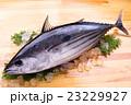 鰹 生鰹 魚の写真 23229927