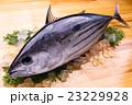 鰹 生鰹 魚の写真 23229928