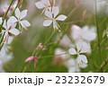 ハクチョウソウ 23232679