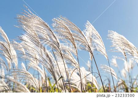 光り輝くすすきの穂の群れの写真...