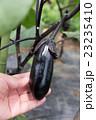 ナス(家庭菜園) 23235410