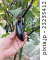 収穫 茄子 家庭菜園の写真 23235412