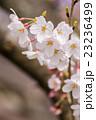 桜 23236499
