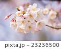 桜 ソメイヨシノ 蕾の写真 23236500