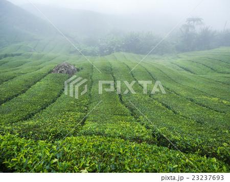 Boh Tea plantation in Cameron highlands 23237693
