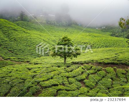 Boh Tea plantation in Cameron highlands 23237694