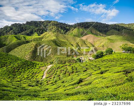 Tea plantation in the Cameron highlands 23237696