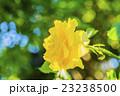 黄色いバラ ゴールドバニー 23238500