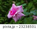 ピンクのバラ はごろも 23238501