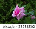 ピンクのバラ はごろも 23238502