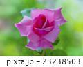 ピンクのバラ はごろも 23238503