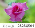 ピンクのバラ はごろも 23238504