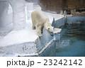 大阪府大阪市天王寺区の天王寺動物園のしろくま 23242142