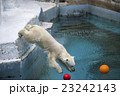 大阪府大阪市天王寺区の天王寺動物園のしろくま 23242143
