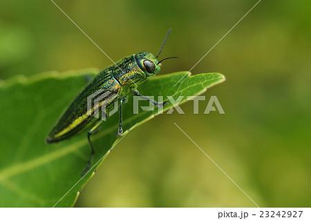 生き物 昆虫 アヤムネスジタマムシ、沖縄本島北部の公園。ホルトノキに集まっていました② 23242927