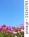 青空 花畑 コスモス畑の写真 23243763
