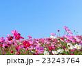 青空 花畑 コスモス畑の写真 23243764
