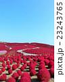 秋晴れのコキア 23243765