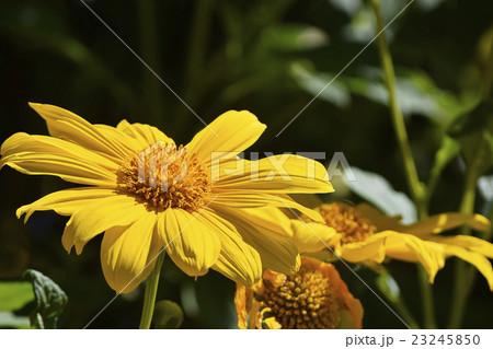 鮮やかな黄色の皇帝ひまわり メキシカンサンフラワー 23245850