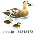 カルガモの親子 手描きイラスト 23248472