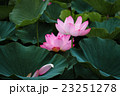 蓮の花 23251278