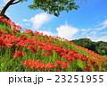 彼岸花 花 開花の写真 23251955